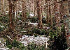 Das Schadholz rasch aus dem Wald entfernen